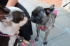 Abby meets Polly the German Pug